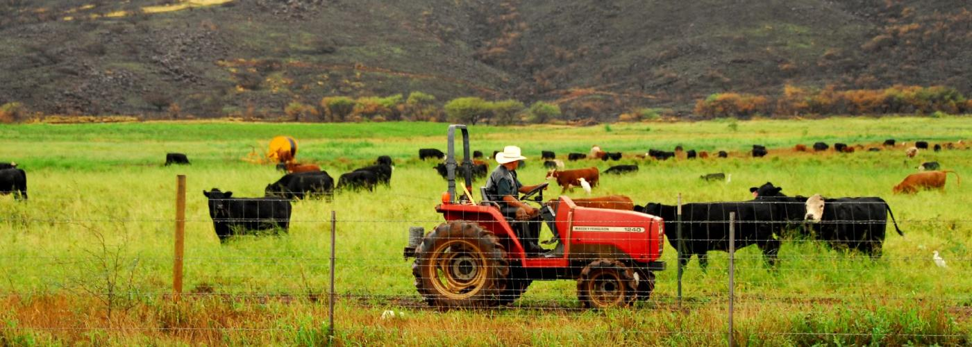 Rancher with cattle in Hawaii