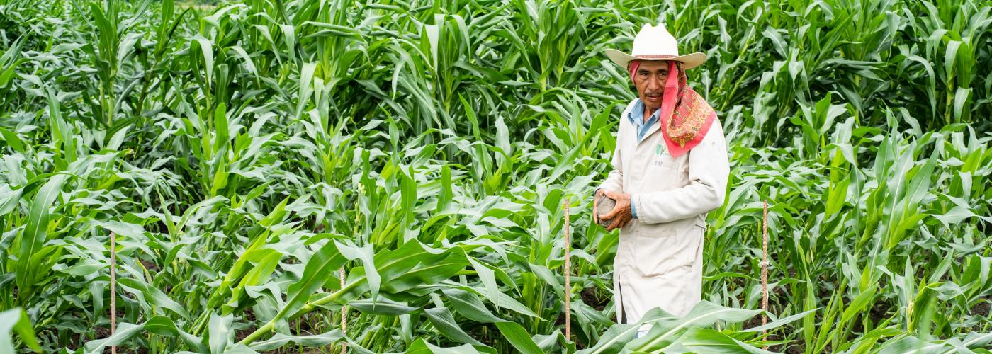 Field worker inspecting a maize field affected by lodging