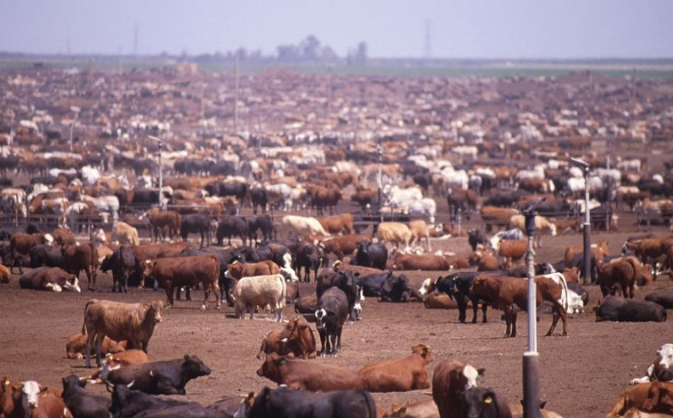 cows in a crowded feed lot
