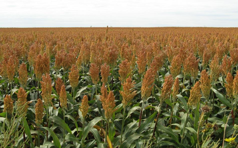 Field of Sorghum in Kansas