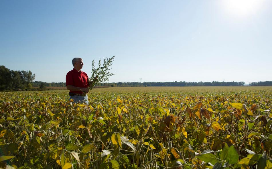 Farmer looking ahead in soybean field