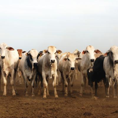 cows and dirt