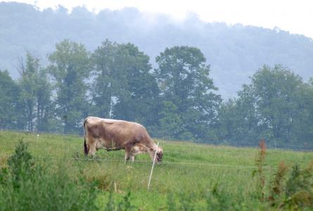 Grazing cow in Massachusetts- missing the market