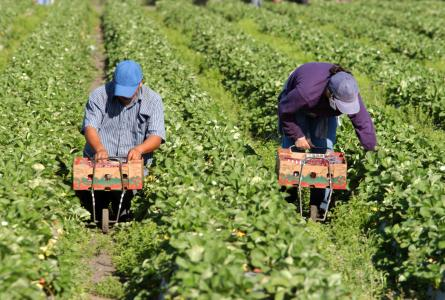 Undocumented farmworkers and the U.S. agribusiness economic model